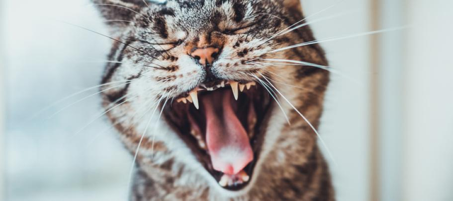 This yawning cat knows how boring employee town halls can be